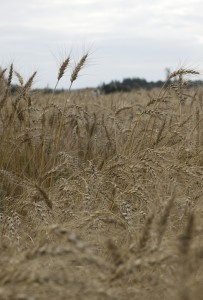 Wheat growing in a test plot at the Northwest Washington research and Extension Center in Mt. Vernon.