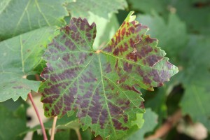 A Sangiovese leaf showing leafroll disease symptoms. It tested positive for Grapevine leafroll-associated virus 3. Photos courtesy Naidu Rayapati.