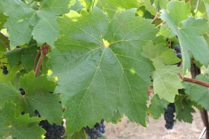 A Sangiovese leaf showing no leafroll disease disease symptoms, but tested positive for Grapevine leafroll-associated virus 2. Such asymptomatic infections make it difficult to spot virus infections in a vineyard.