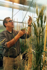Stephen Jones examines western Washington grains in a WSU Mount Vernon Research and Extension Center greenhouse. Photo by Sylvia Kantor/WSU.