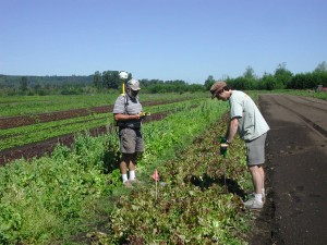 Andy Bary (left) and Doug Collins (right) take soil measurements in lettuce plots at the WSU research farm in Puyallup. Photo by Craig Cogger, WSU.