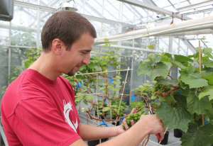 A Viticulture and Enology student prunes vines in the greenhouse at WSU Pullman.