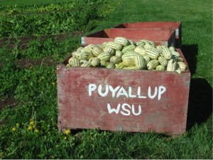 Winter squash grown organically at the WSU research farm in Puyallup. Photo by Andy Bary, WSU.