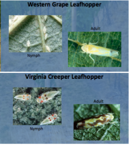 Click the photo for more about leafhopper populations in Washington vineyards.