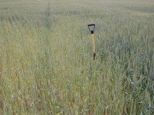 A stunted patch of winter wheat in a field infested by Heterodera filipjevi near Colton, Wash.