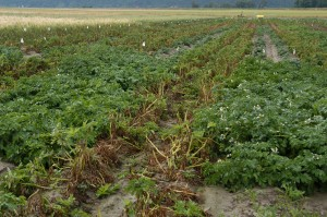 Picture of late blight damage in a potato fiield