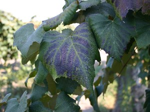 Image of blackleaf on Concord grape leaves