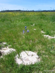 Native camas lily on cow pile. (Photo courtesy Peter Dunwidde, CNLM)