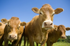 Cattle_iStock_000007060521_Large