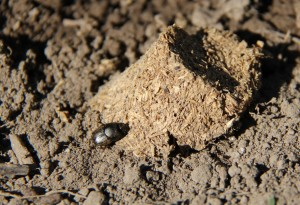 Dung beetle on pig manure bait. (Photo by Kyle E. Jones.)
