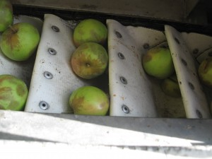 Bruising from mechanically harvesting cider apples did not affect fruit or juice quality. Photo by Carol Miles, WSU.