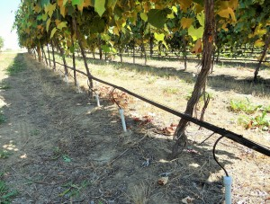 Subsurface microirrigation system for 12-year-old grape vines at WSU Roza Research Farm. Photo by Pete Jacoby, WSU.