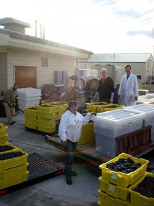The winemaking team of Federico Casassa, Maria Mireles, James Harbertson, and Richard Larsen unload Cabernet Sauvignon grapes at the WSU research winery in Prosser. Photo by Eileen Harbertson.