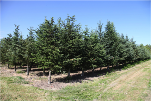 An older block of grafted clonal Christmas trees at WSU's Puyallup research orchard.