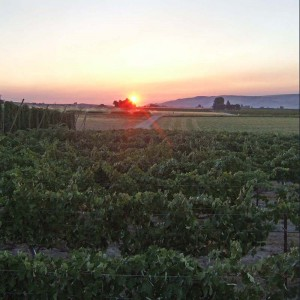In the Northwest, clean plants are grown at the Clean Plant Center's foundation vineyard at the WSU Irrigated Agriculture Research and Extension Center in Prosser.