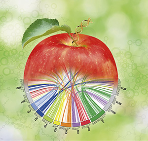 Scientists at WSU are unraveling the DNA codes of several tree fruit species. A map of apple and peach genomes emerges in this illustration by Gerald Steffen, WSU.