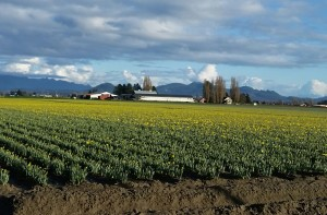 Fruit and flower crops are a few weeks ahead of schedule in Skagit County. (Photo by Hollis Spitler, WSU Mount Vernon)