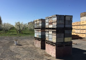 Farmers rely on pollination services provided by bees for many crops including apples.