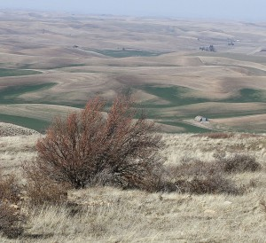Fruit trees have survived on the slopes of Steptoe Butte since they were planted from 1888 to 1894 by homesteader Robert E. Burns. Seth Truscott/CAHNRS photo