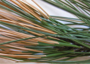 The damaged needles from a ponderosa pine. The affected trees will drop the damaged needles with long term damage unlikely.