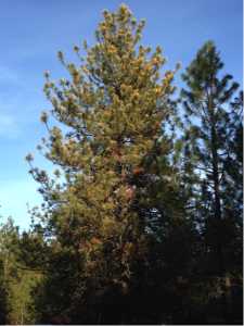 A ponderosa pine tree with frost-damaged yellow needles.