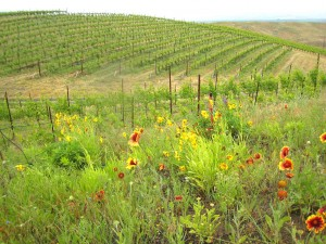 Native plants grown alongside a Walla Walla vineyard attract and sustain butterflies as well as natural enemies of pests.