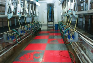 The newly upgraded milk parlor at WSU's Knott Dairy Farm makes milking safer and more efficient. (WSU photo)
