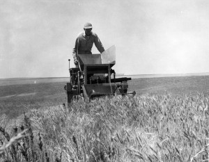 Superintendent Walter Nelson uses a nursery combine to cut a row of wheat at the Dryland Experiment Station in 1958. (MASC, WSU Libraries)
