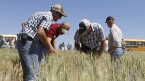Farmers take a close look at winter wheat varieties being tested at Lind Dryland Research Station.
