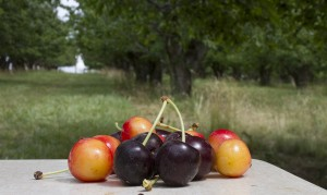 cherries on table in orchard
