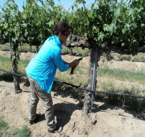 Holland sampling a symptomatic vine by removing a wedge-shaped piece of wood with a pruning saw.