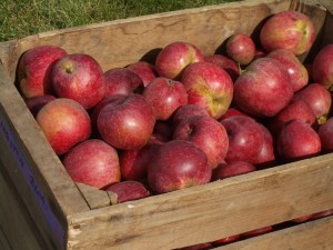 A box of Kingston Black, a bittersharp cider apple of English origin, harvested at the WSU Mount Vernon Northwestern Washington Research and Extension Center cider orchard. (Photo by J. King, WSU)