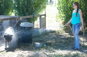 Shultz frequently used a garden hose to try to cool off her pig.