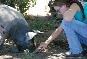 4-H member Brooklyn Shultz, 14, of Prosser, Wash., coaches her pig, Oreo, to eat during a summer heat wave. (Photos by Linda Weiford, WSU News)
