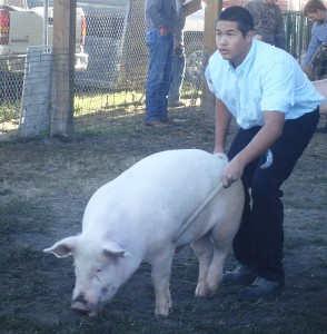 A Colville Reservation 4-H club member handles his market pig during last year's Ferry County Fair. The fair was canceled this year due to evacuations and safety concerns in the fire-surrounded county (Photo by Linda McLean/WSU Extension).