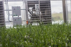 Breeders and researchers are already using the new greenhouse space to grow and experiment on new wheat varieties.