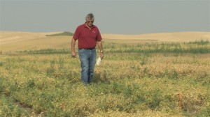 Fred Muehlbauer, retired USDA-ARS pulse breeder at Washington State University, inspects a field of legumes on the Palouse. He helped promote pulses and led breeding efforts at WSU for nearly 40 years. University pulse breeding and research would benefit from a new national endowed chair for pulse crops, says Muehlbauer. (CAHNRS photo)