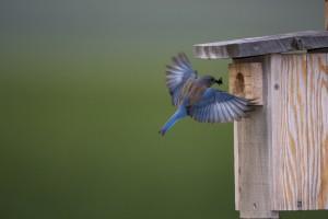 Western bluebird with cricket. Photo by flickr user Kevin Cole.