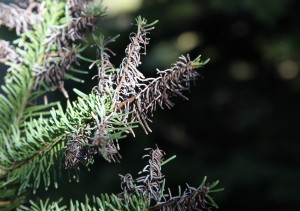 Purple needle eater damage on low-elevation noble fir. (Photo by G. Chastagner, WSU)