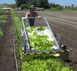 Researchers harvest baby-leaf greens in Washington. Field experiments have revealed ways growers can lengthen production seasons for popular salad greens. (Photo courtesy Carol Ann Miles).