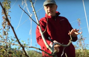 Stefano Musacchi, Endowed Chair of Tree Fruit Physiology and Management, shows how to prune Bartlett pear trees to optimize fruit quality. Learn more best practices for tree fruit at upcoming workshops.
