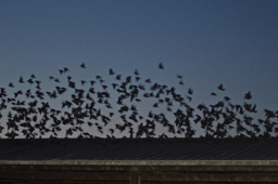 Starlings and other pest birds are a growing problem for Northwest dairies.