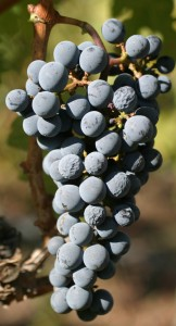 Grapes are studied at WSU IAREC in Prosser, Wash.