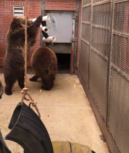 Bears at the WSU Bear Center find fruit hidden inside tubes constructed to challenge them, instead of just giving them the food.
