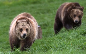 Hair color or frightening nature, what is the true origin of the name grizzly bear?