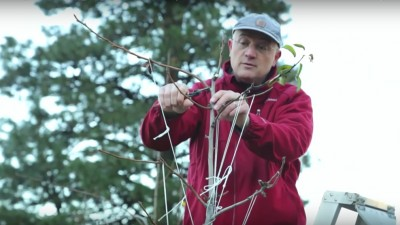 WSU Endowed Chair Stefano Musacchi demonstrates proper pear pruning technique. His research helps develop new tree fruit training and management methods.