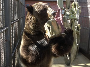 One of the WSU bears eating peanut butter as part of the Bear Center's enrichment program.