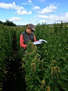 WSU graduate student Julianne Kellogg evaluates breeding lines in a field of quinoa on the Olympic Peninsula in western Washington.