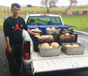 WSU student Heng Cai, a senior studying Organic Agriculture, loads winter squash for a delivery to Whitman County food banks.