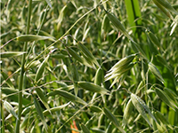 Winter oats grow in a field trial at Mount Vernon.
